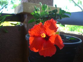My first hibiscus!