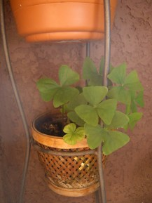 This Shamrock plant died in the freeze. I thought there was no hope for it at last. Boy was I wrong!