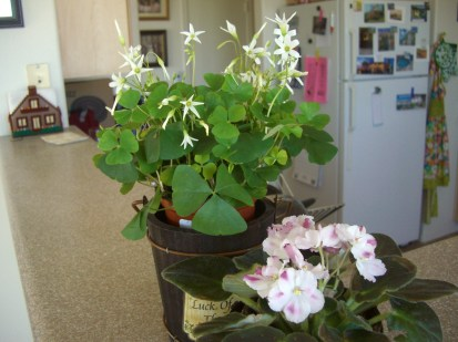 New Shamrocks and African Violet - we'll see how well they both do in my kitchen.