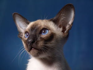 Good Siamese Cat Names