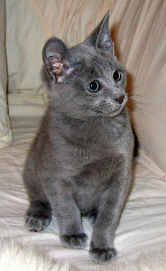 Russian Blue Cat Names