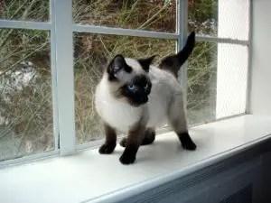 Male Siamese Cat Names