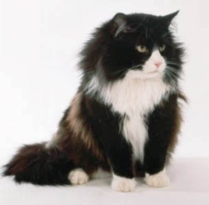 Black and White Cat Names_Cat Names City_Norwegian Forest cat