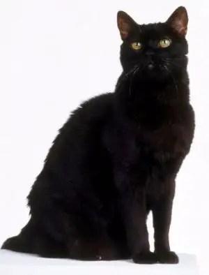 famous cat names black