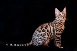 bengal cat names exotic
