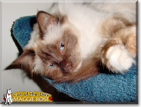 Maggie Rose, the Cat of the Day