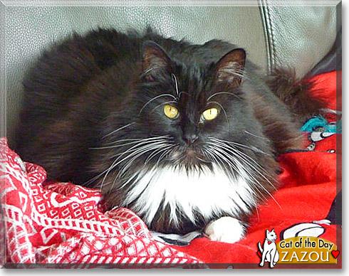 Zazou, the Cat of the Day