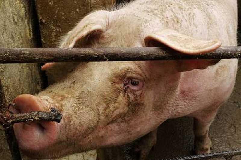 noticias do mundo mulher desmaia cai em chiqueiro e e devorada por porcos