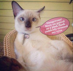 cat with crossed eyes speaks out about a pink collar