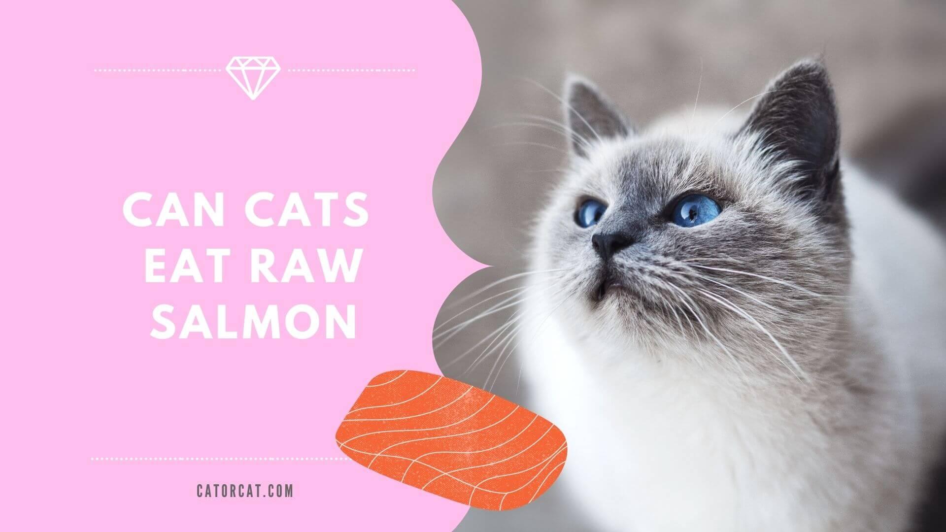 ¿Pueden los gatos comer salmón crudo, Sushi, cocido o enlatado?
