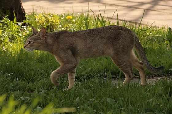 Chausie Cat
