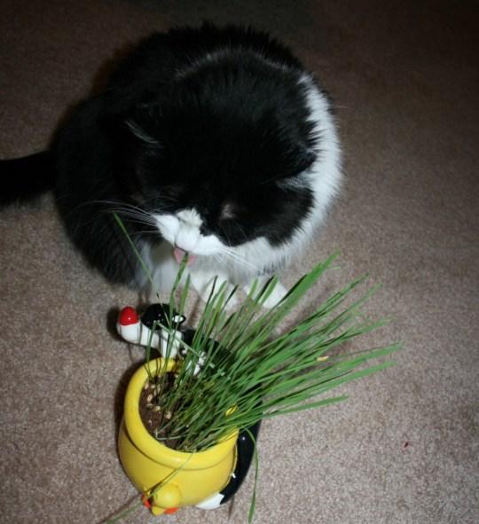 a cat tasting grass