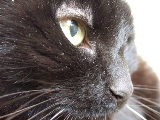 black cat with dandruff