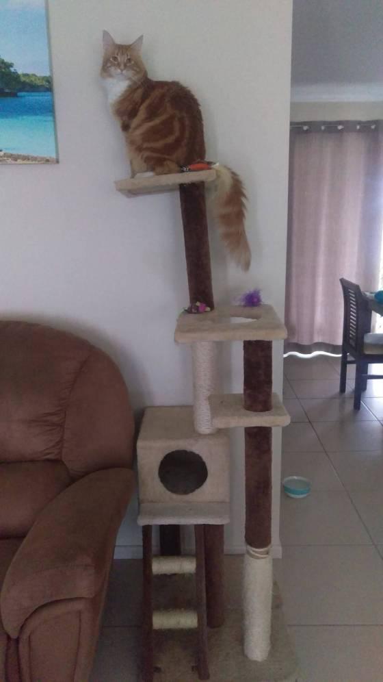 cat atop a cat tree