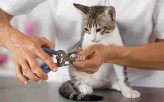 a vet using a cat nail clipper