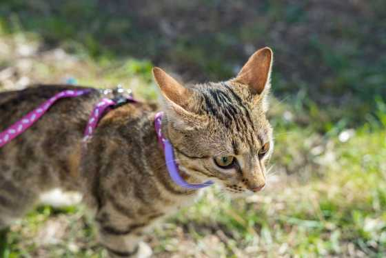 cat harness review
