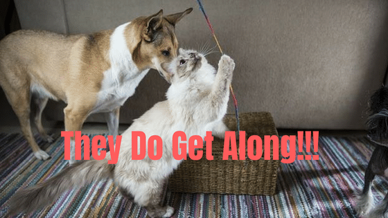 Cat breeds that get along with dogs