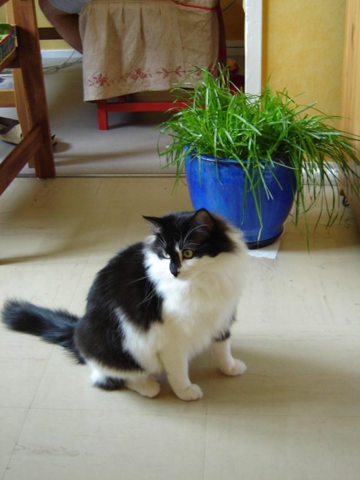 herbe pour chat dans un pot