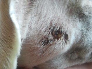 dermatose infectée