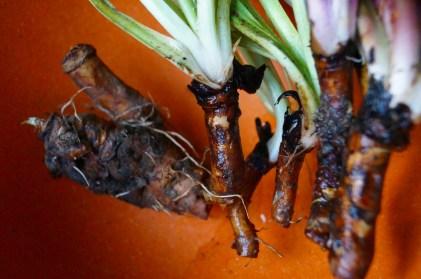 racines de pissenlit