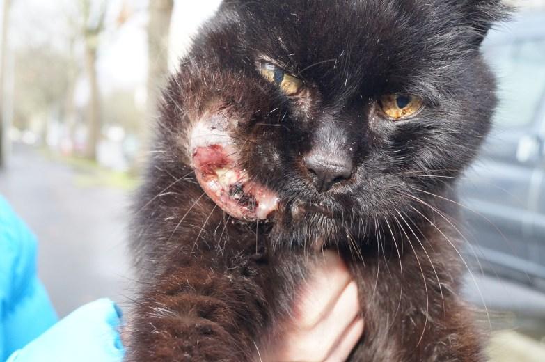 Chat errant avec un gros tumeur