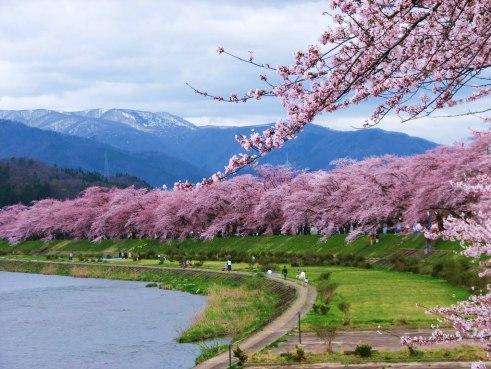 Sakura seperti inilah yang saya cari di Kakunodate.