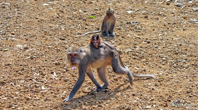 O iya, di Bali ini masih banyak loh monyet - monyet liar seperti ini. Mereka bisa di temui di beberapa tempat tertentu di Bali. Seperti monkey forest, bedugul, atau bahkan di tepi jalan sebelum Amed seperti ini.