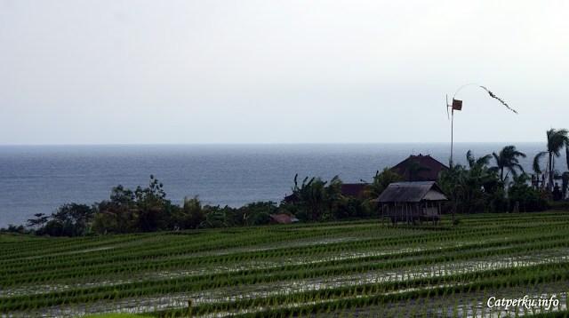 Uniknya, ada sebagian sawah yang lokasinya persis berada di dekat laut seperti ini.