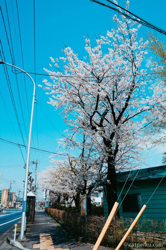 Bahkan saya sudah disambut beberapa pohon Sakura sebelum sampai di Tensochi Park :D