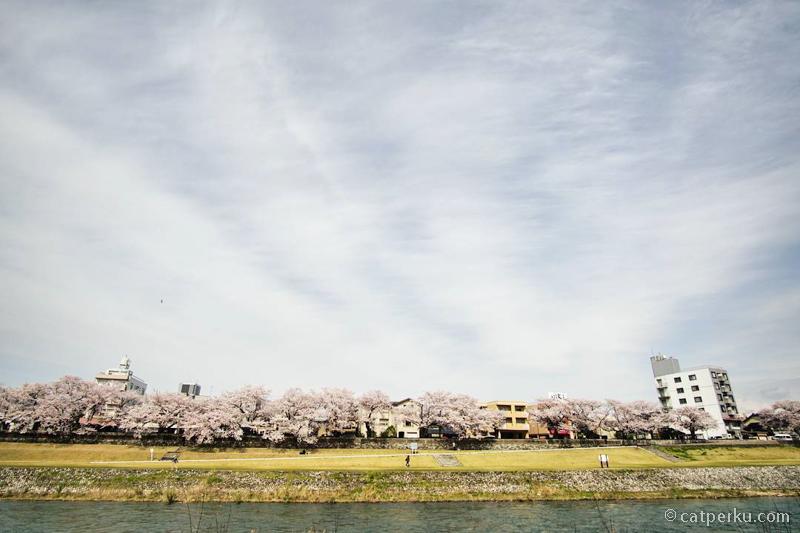 Bantaran Sungai Saigawa yang penuh dengan Pohon Sakura