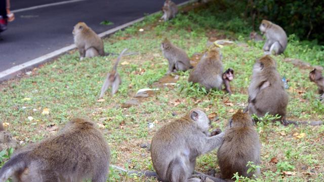 Monyet yang ada di kawasan Wisata danau Bedugul Bali ini adalah monyet liar, namun mereka menunggu siapa saja yang berhenti dan memberi makanan kepada mereka.