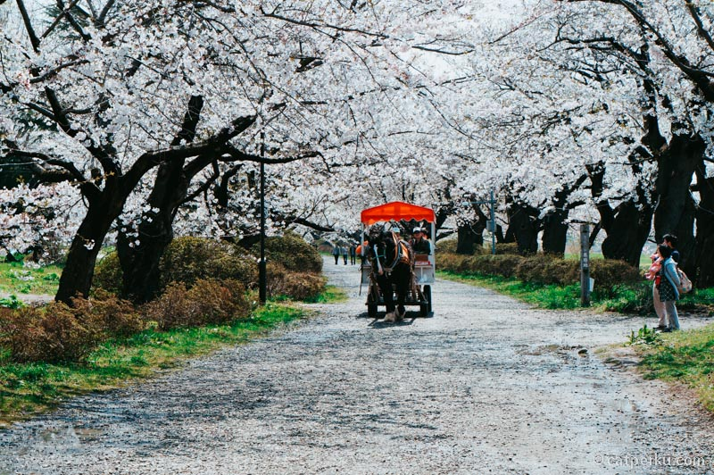 Bisa juga melihat Sakura sambil naik delman. Eh? Kalau di jepang namanya delman juga bukan?