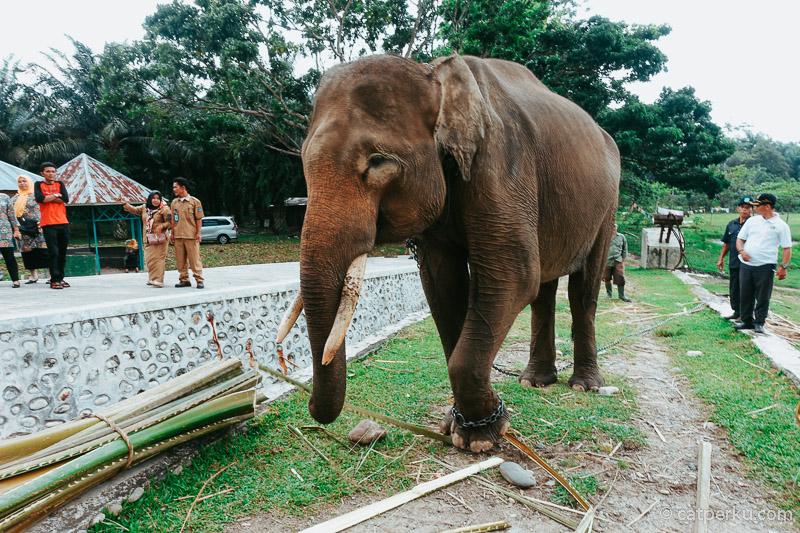 Di Taman Wisata Alam Seblat ini terdapat pusat pelatihan gajah.