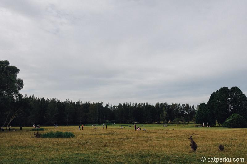 Morisset Park yang dipenuhi Kanguru dan... Manusia!