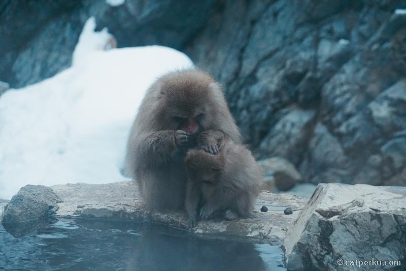 Perlu diingat, kalau berkunjung ke Jigokudani Yaen-Koen AtauJigokudani Monkey Park ini gak boleh memegang atau memberi makan mereka
