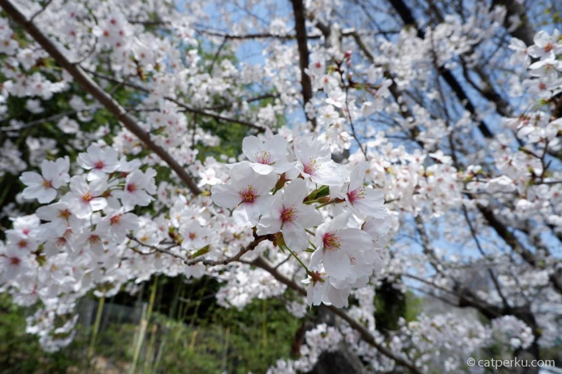 Sakura mekar di Kota Kobe