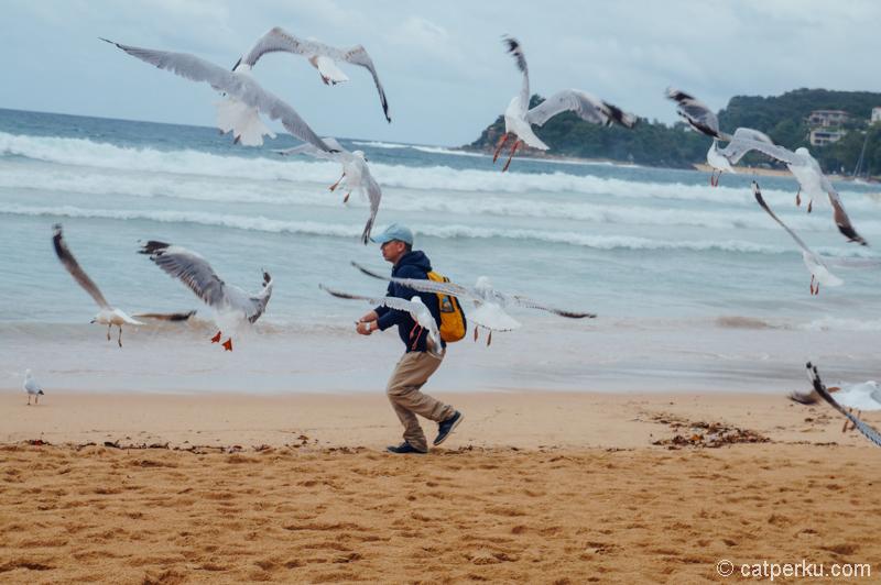 Selain bikini, burung-burung ini yang suka saya amati di Manly~ #eh