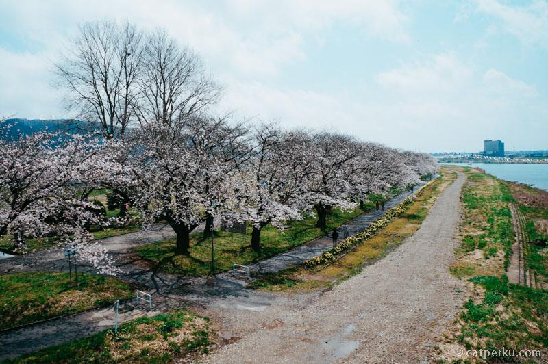Siapa yang bisa menghitung jumlah dari pohon Sakura yang ada disini?