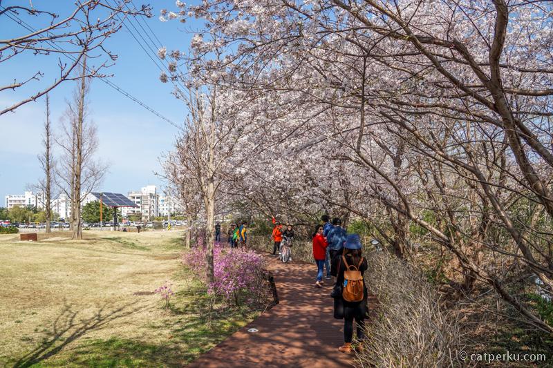 Taman Kota Gangneung, salah satu sudutnya dipenuhi oleh Pohon Sakura