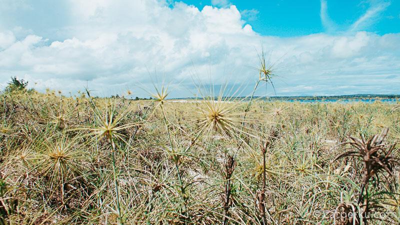Tapi waktu ke pantai nya hati - hati ya, ada banyak tumbuhan yang berduri seperti ini. Dan saya harus melewatinya untuk menuju bibir pantai.