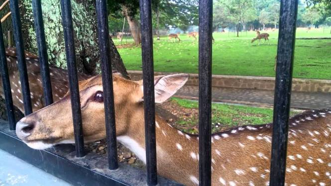 if you ony interested about feeding the deer in Istana Bogor, you can wath the video that I record above.
