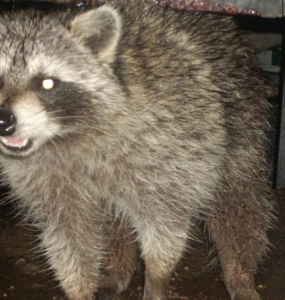 Raccoon at community cat feeding station.