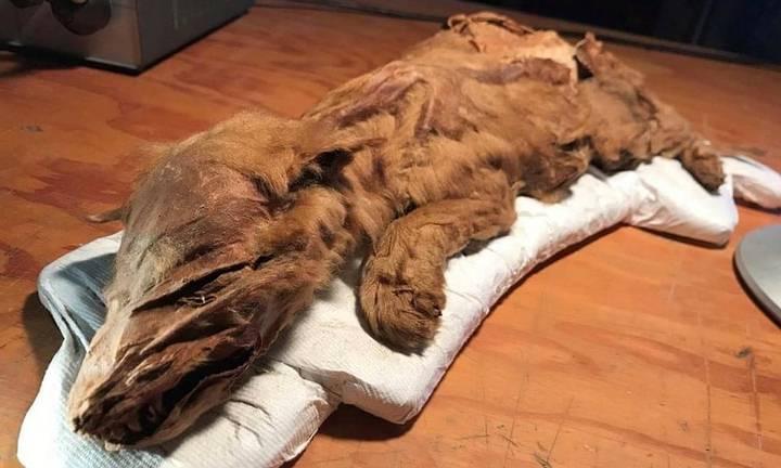 Cachorro de lobo momificado.