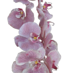 Transparent-Bgrnd_Orchid