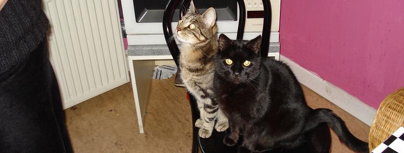 Eine graue und eine schwarze Katze sitzen nebeneinander auf einem Stuhl - Katzen vergesellschaften, Vergesellschaftung, Zusammenführung, Mehrkatzenhaushalt, Katzenberatung, Verhaltensberatung, Katzenpsychologie