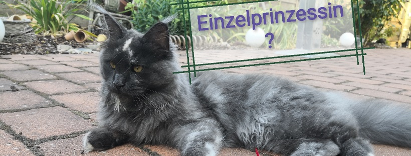 Maine Coon Katze liegt im Garten - Katzenhaltung, Katzenberatung, Vergesellschaftung, Stress, Katzenhilfe