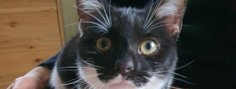 schwarz-weiße Katze guckt neugierig in die Kamera; Katzenberatung in Berlin, Katzenpsychologin, Katzenpsychologe, Katzenpsychologie, Katzenverhaltensberatung, junge Katze kaufen, Katze macht Blödsinn