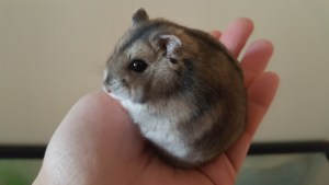 holding my dwarf hamster, Fred