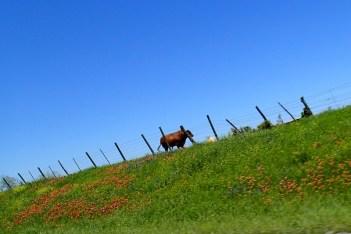 Roadtrip Cows 01