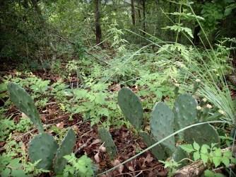Cactus on Baines Creek Trail